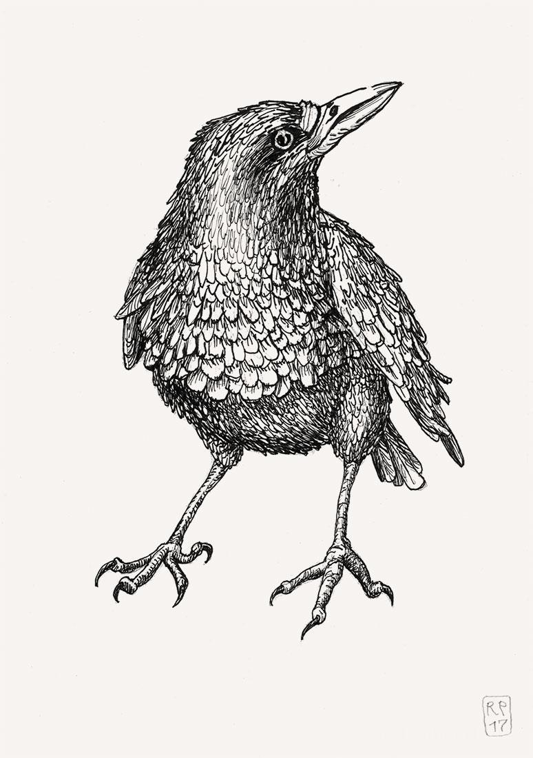 Krähe Rabe Zeichnung Ausziehtusche Robert Puls Irland
